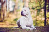 stock photo of bull-mastiff  - white dog lying down portrait in the forest - JPG