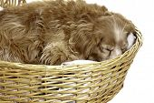 stock photo of cockapoo  - A sleeping cockapoo is having a nap is a wicker basket isolated against a white background - JPG