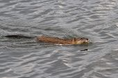 image of muskrat  - muskrat who floats on the lake with a stalk of cane in the teeth - JPG