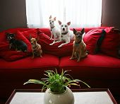 pic of herding dog  - a group of chihuahua dogs sitting on a couch in a living room - JPG