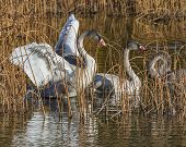 stock photo of trumpeter swan  - young trumpeter swans - JPG