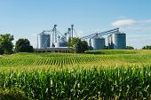 stock photo of farm landscape  - Silos behind a cornfield and farm against blue sky background - JPG