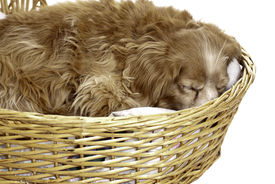 picture of cockapoo  - A sleeping cockapoo is having a nap is a wicker basket isolated against a white background - JPG