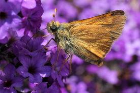 stock photo of heliotrope  - A Woodland Skipper butterfly on Purple Heliotrope flowers - JPG