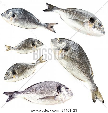 Collage of fresh dorado fishes, isolated on white