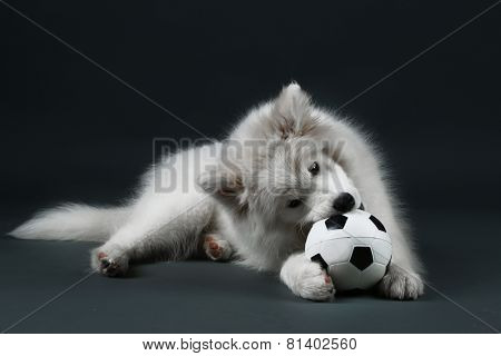 Lovable Samoyed dog playing with ball on dark background