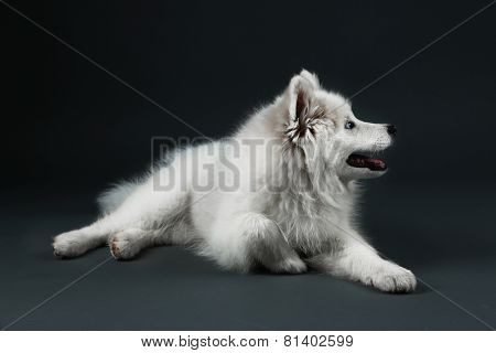 Lovable Samoyed dog lying on dark background
