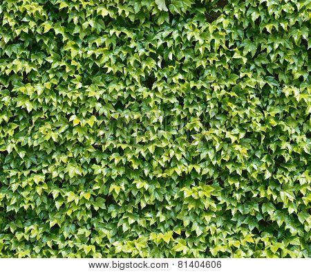 Parthenocissus tendril climbing decorative plant