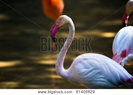 white flamingo, head, neck and body