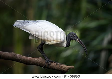 black head and neck ibis perched on tree branch