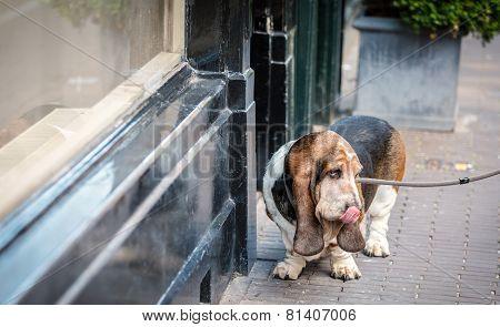 Basset hound on the street
