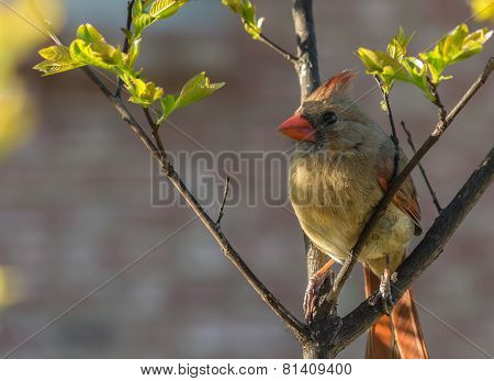 Cardinal on Crepe Myrtle
