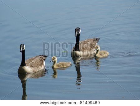 Goose Famly
