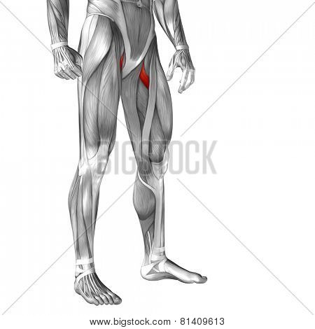 Concept or conceptual 3D pectineus human upper leg anatomy or anatomical and muscle isolated on white background