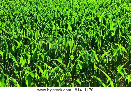 Sweet Corn In Summer Growing At The Field