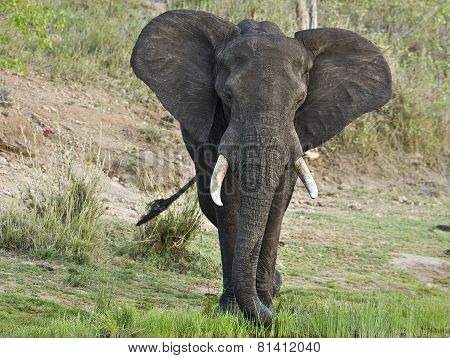 close-up on an African bush elephant at Kruger np, South Africa