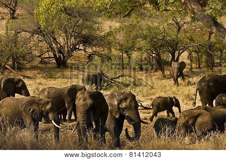 herd of wild elephants at Kruger Narional Park, South Africa