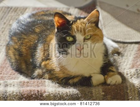Curious Calico Cat
