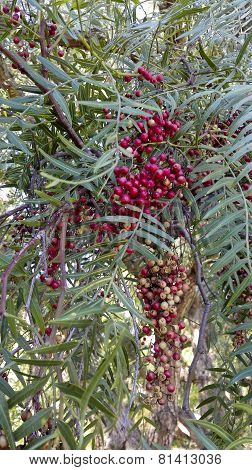 Berries Of California Pepper Tree
