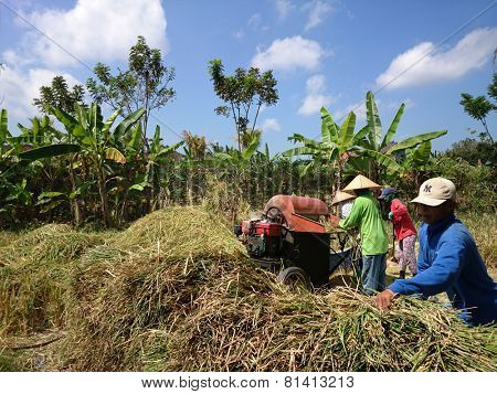 BALI, INDONESIA - SEPTEMBER 18, 2014: Farmers harvest rice grains from the rice stalks freshly cut on the paddy field. Most of the farming work is done by traditionally by hand and simple machinery.