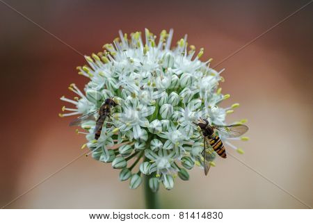 Wasps on Onion Plant