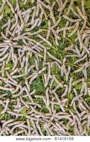 Silk Production Process, Silkworm With Mulberry Green Leaf