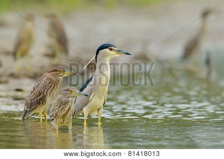 grey heron in natural habitat (ardea cinerea) in natural habitat