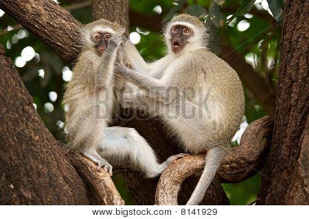 Monos vervet