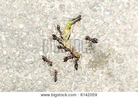 Ants Attack Caterpillar