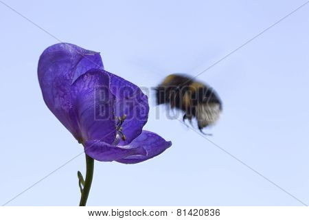 Bumble bee and a blue flower.