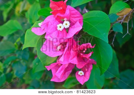 Red Pink Blooming Bougainvilleas Flower
