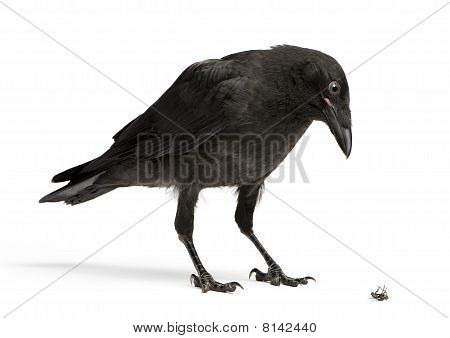 Young Carrion Crow Looking Down At A Dead Fly