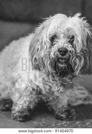 Lhasa apso - Black and White - extreme shallow depth of field - soft impressionistic image of this lovely breed of dog.