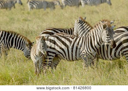 Common Zebras With A Baby