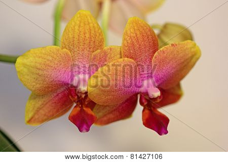 Varicoloured orchid flower