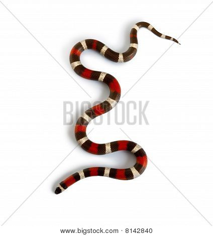 Pueblan Milk Snake Or Campbell's Milk Snake, Lampropeltis Triangulum Campbelli, Slithering Against W