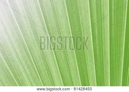 Texture Of Green Palm Leaf On Softlight Monotone
