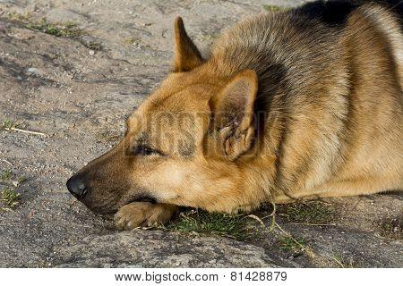German Shepherd Resting Relaxed