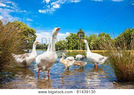 Goose family in pond on sunny day.