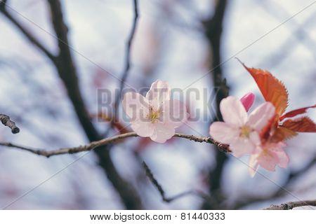 spring sakura blossom close up