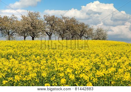Field Of Rapeseed With Beautiful Clouds