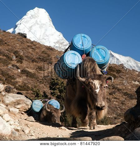 Caravan Of Yaks With Goods
