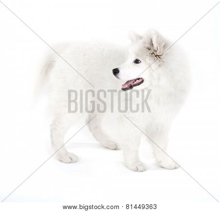 Friendly Samoyed dog isolated on white