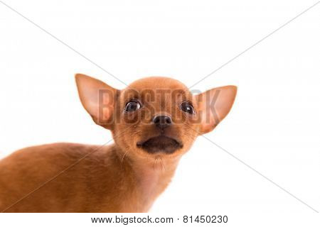 Chihuahua puppy pet dog doggy portrait on white background
