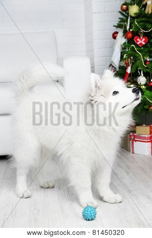 Playful Samoyed dog with ball in room with Christmas tree on background