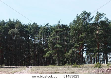 Coniferous Forest, Warm Summer Sunny Day