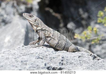 Iguana Sunbathing