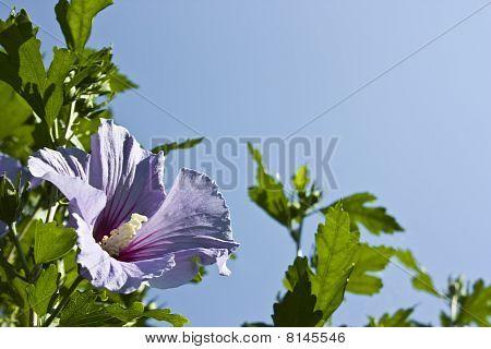 Flor de Hibiscus Syriacus