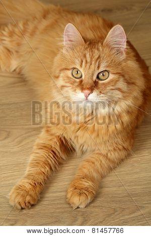 Portrait of red cat on wooden floor background