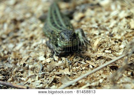 cautious lizard